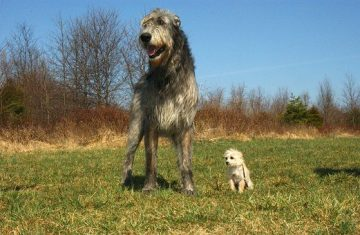 What You Need to Know Before Getting an Irish Wolfhound